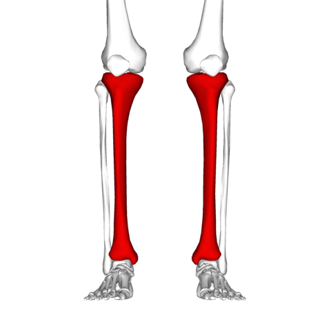 tibia frontal view